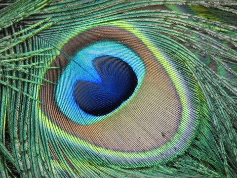 [Image: peacock-eye.jpg]